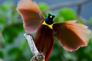Райские птицы2