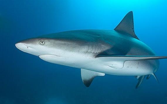 Серые рифовые акулы