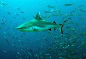Серые рифовые акулы2