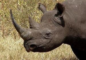 Черные носороги 11