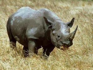 Черные носороги 22