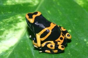 Африканские древесные жабы1