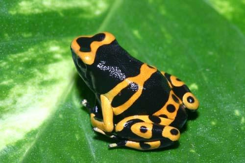 Африканские древесные жабы