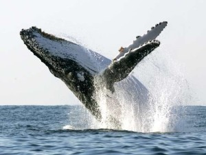 Горбатые киты 2