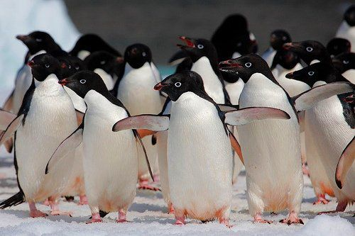 Пингвин Адели  (Adélie Penguin)