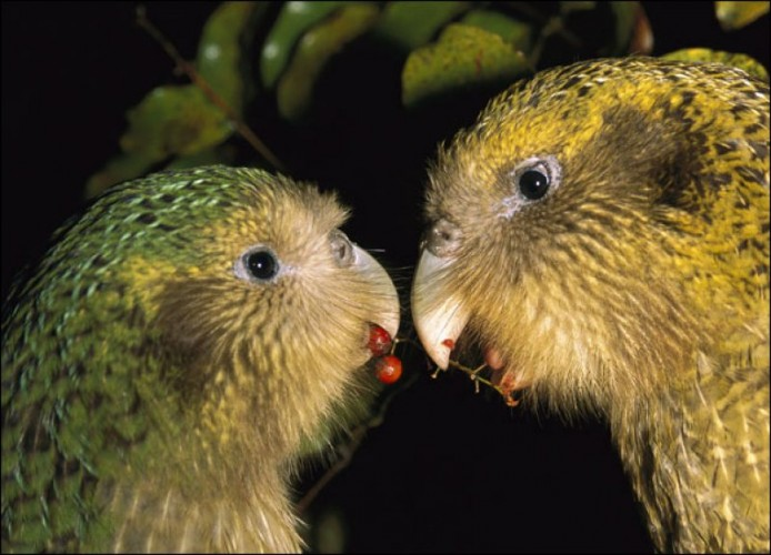 Какапо (Strigops habroptilus)