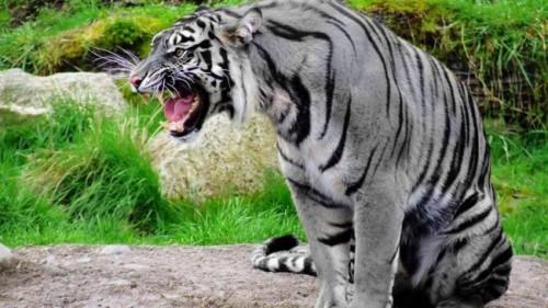 Существует ли мальтийский голубой тигр на самом деле?