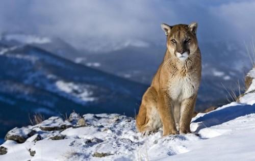 Пума, рыжая рысь, горный лев