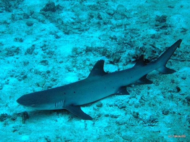 Самые опасные акулы для человека