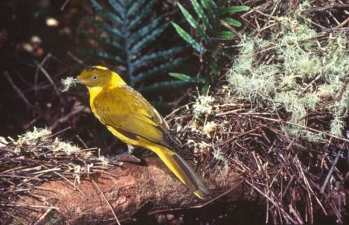 Шалашники или беседковые птицы (лат. Ptilonorhynchidae)