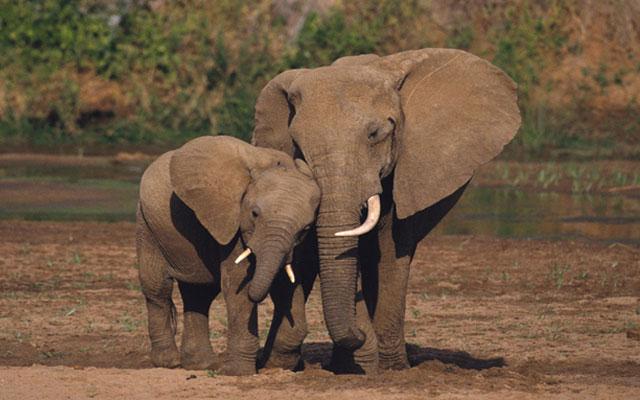 Азиатский слон222222222222222