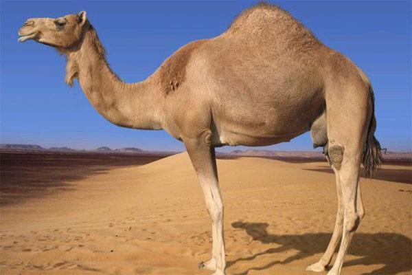 Арабский верблюд