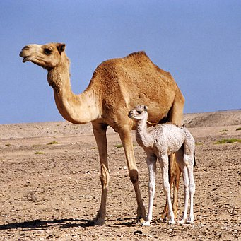 Арабский верблюд99