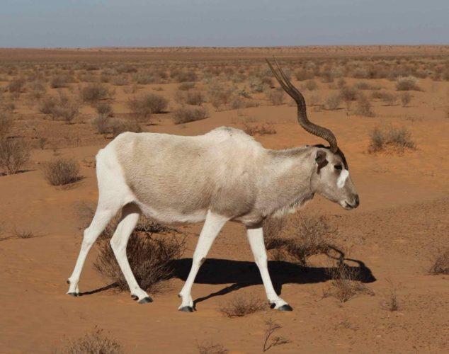 Африканская антилопа Аддакс