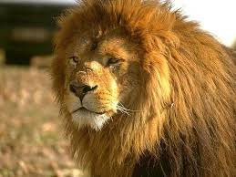 Африканский лев111111111111