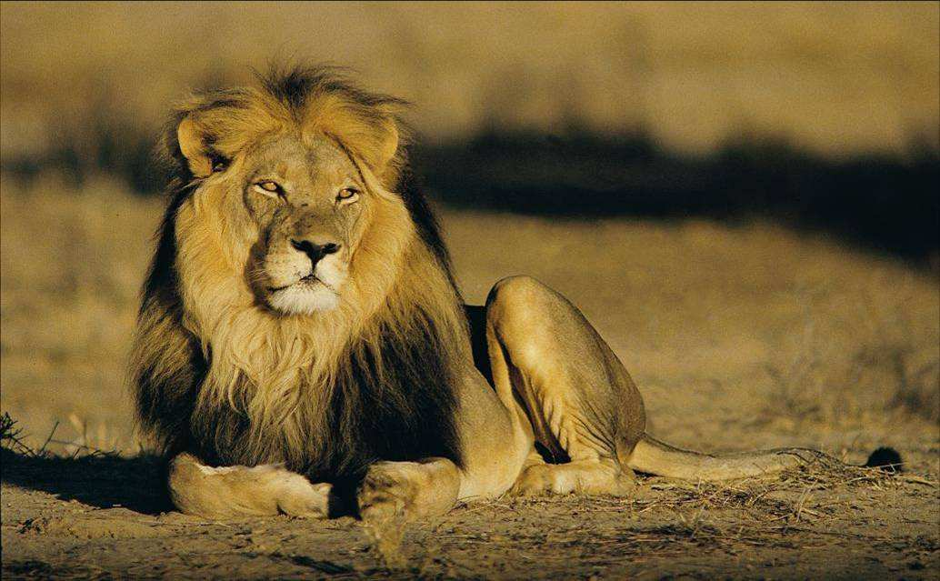 Африканский лев2222222222