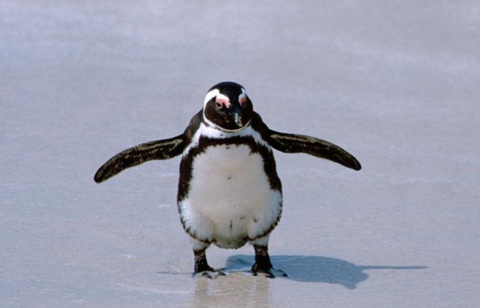 Африканский пингвин222222222222