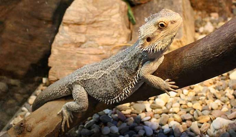 Бородатый дракон111