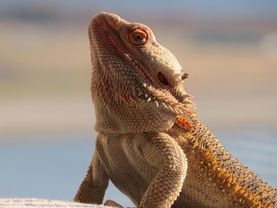 Бородатый дракон2222222222