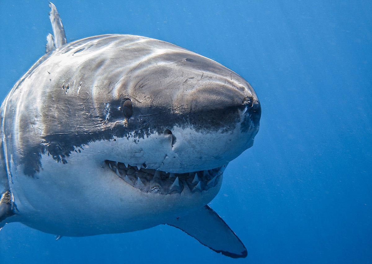 Гигантская белая акула11