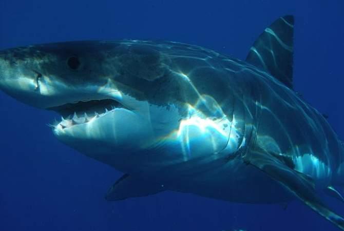 Гигантская белая акула22