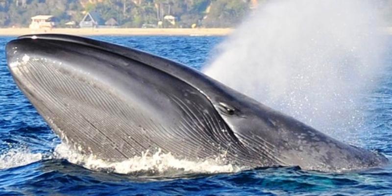Голубой кит
