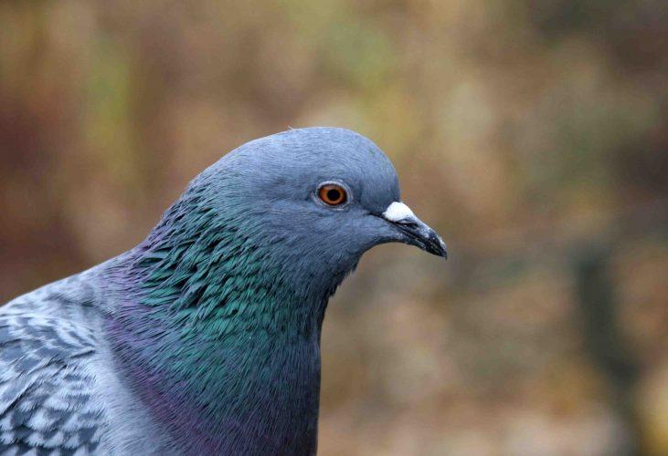 Голубь обыкновенный