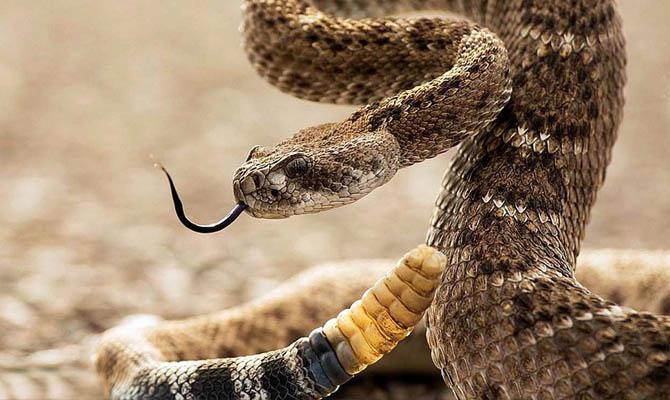 картинки змея гремучая