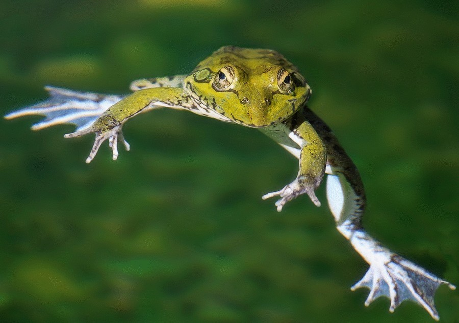 Летающая лягушка Уоллеса11111