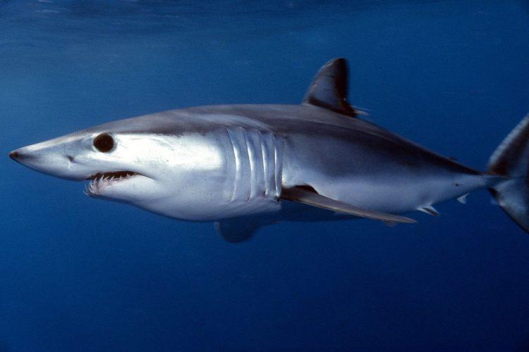 Мако-акула