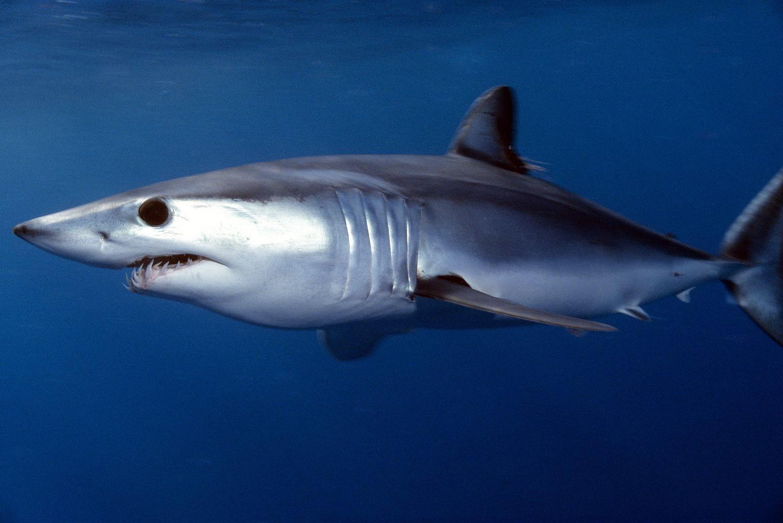 Мако-акула11