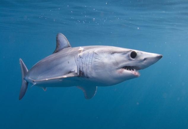 Мако-акула22