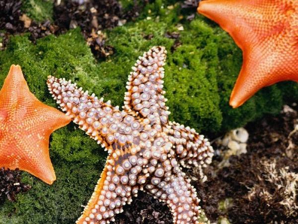 Морская звезда467