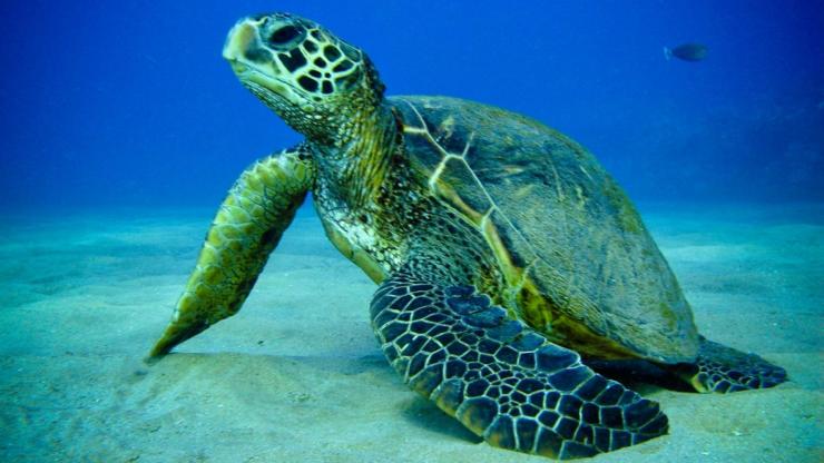 Морская черепаха11111111