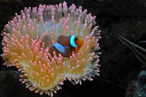 Морской анемон22