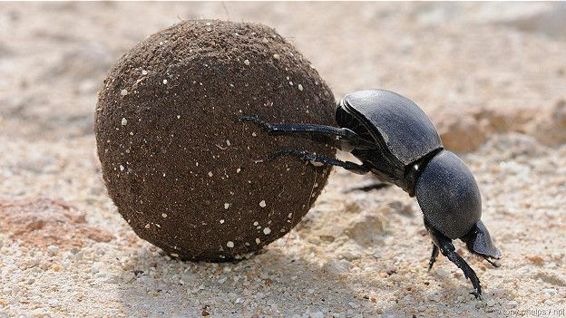 жук навозный фото