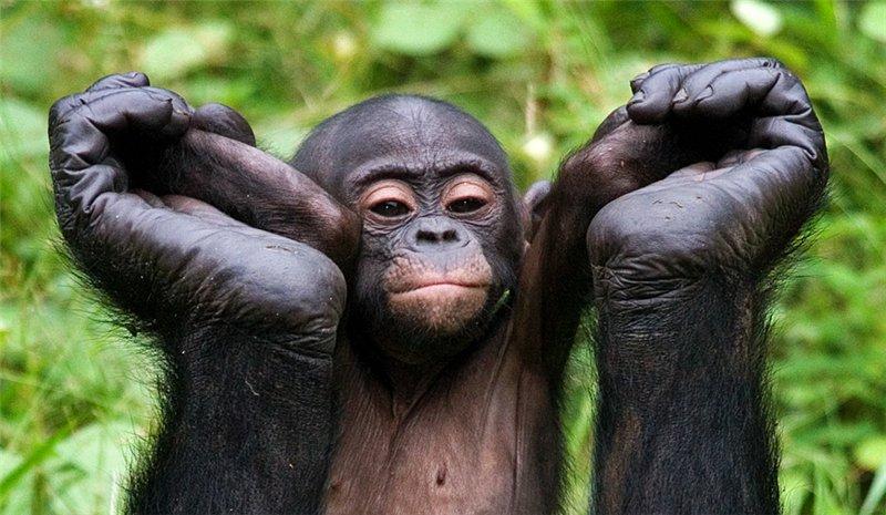 Обезьяна бонобо222222
