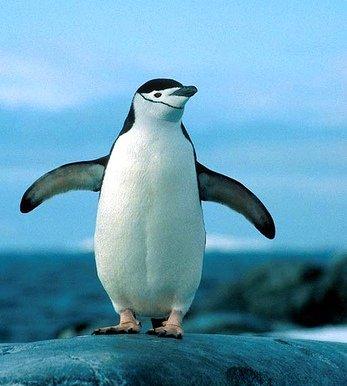 Пингвин Адели22222222