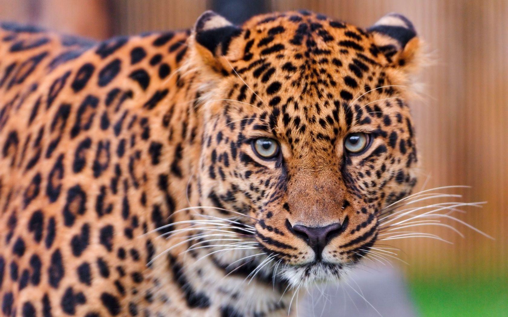 Пятнистый леопард33333333