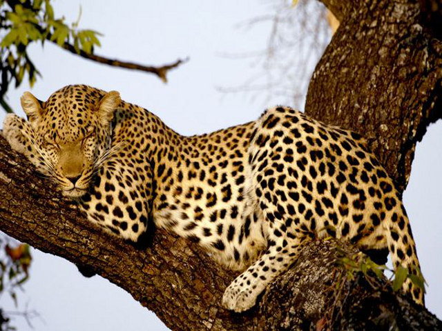 Пятнистый леопард77777777777772