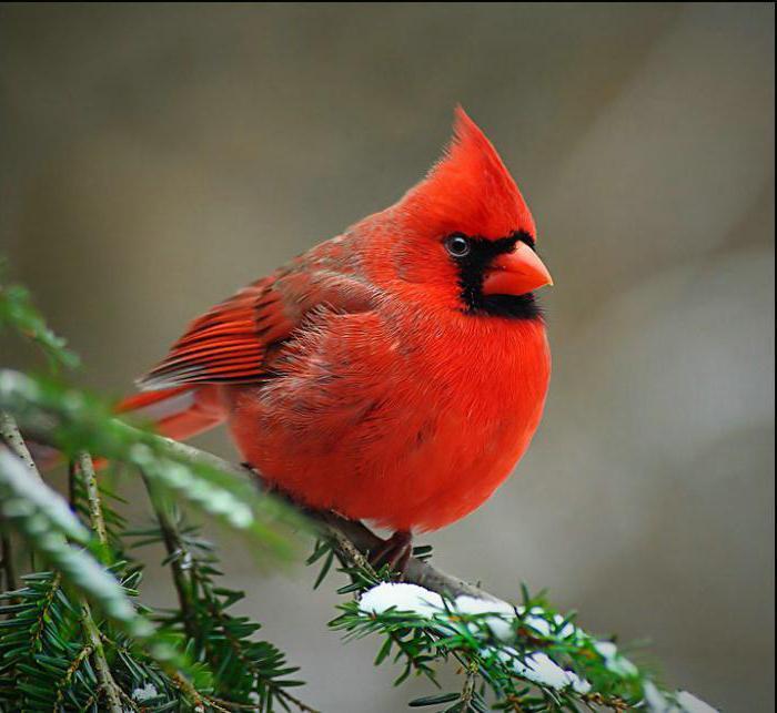 Северный кардинал111