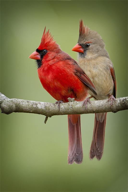 Северный кардинал2222