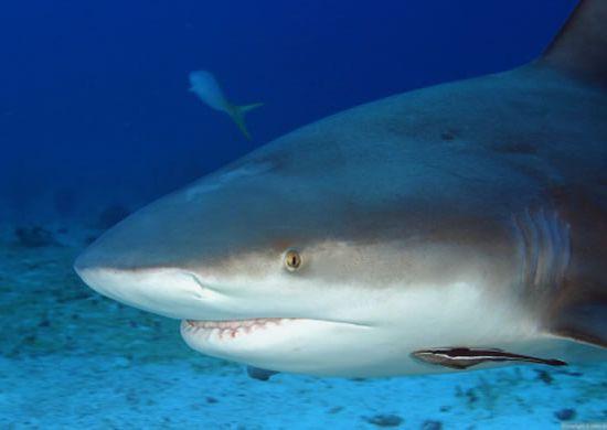 Сумеречная серая акула