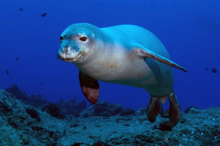 Тюлень-монах