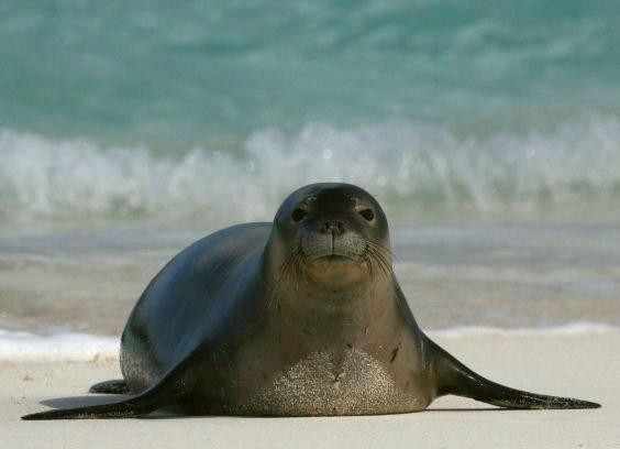 Тюлень-монах 22222