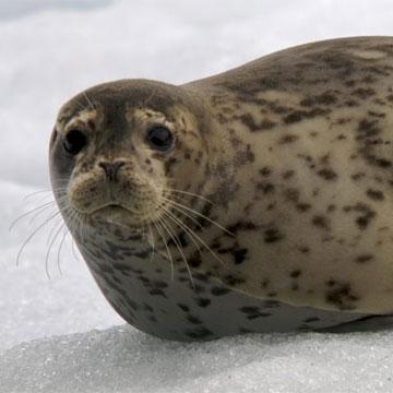 Тюлень обыкновенный 222222