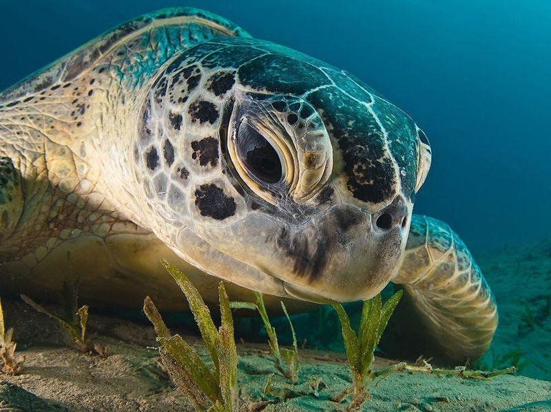 Черепаха Кемп Ридли2222222