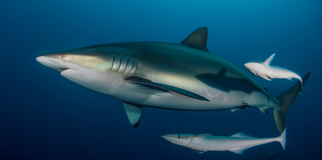 сумеречная серая акула22