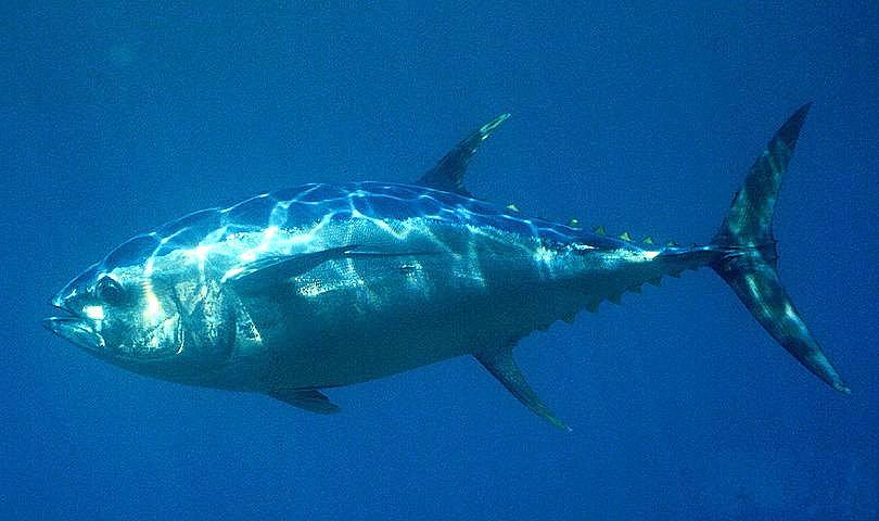1Австралийский тунец