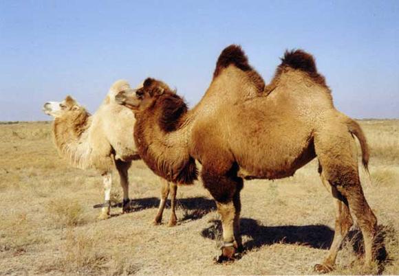 10Бактрийский верблюд